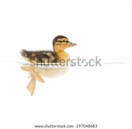 a baby duckling paddling in clear water isolated on a white background  - stock photo