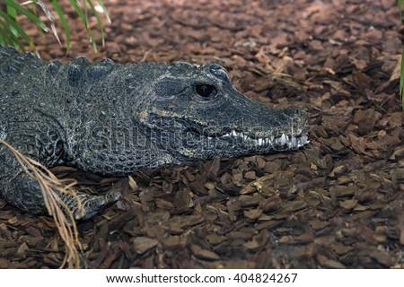 A Baby Dwarf Crocodile (Osteolaemus tetraspis) sitting on the ground.  - stock photo