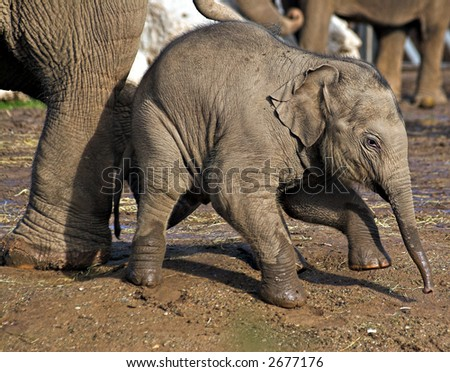 A baby elephant gets a helping push from mothers foot. - stock photo