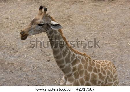 A baby giraffe - stock photo