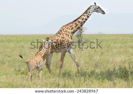 A baby giraffe and his mother (Giraffa camelopardalis) in Serengeti National Park, Tanzania - stock photo