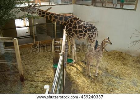 A baby giraffe near his mother - stock photo
