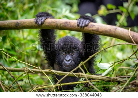 A baby gorila inside the Virunga National Park, the oldest national park in Africa. DRC, Central Africa. - stock photo