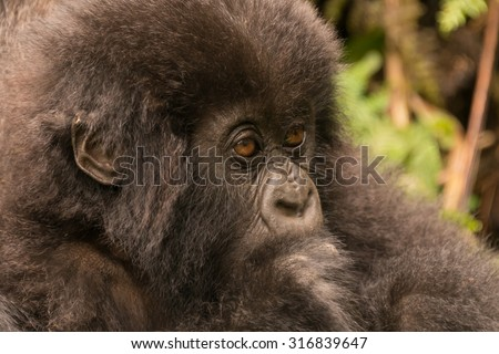 A baby gorilla in the forest of the Parc National des Volcans in Rwanda is staring into the distance. Behind its head is green undergrowth. - stock photo