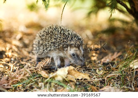 a baby hedgehog searching his mother - stock photo
