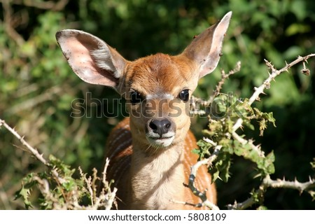 A baby nyala antelope with large ears - stock photo
