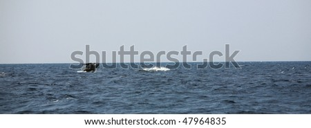 a baby pacific humpback whale practices breaching in the warm blue waters off maui hawaii - stock photo