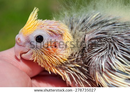 A baby parrot on a human hand head close-up - stock photo