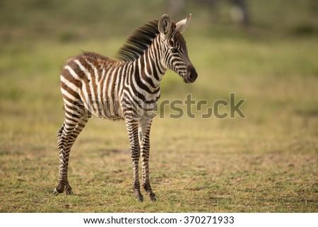 A Baby Plains Zebra in Amboseli, Kenya - stock photo