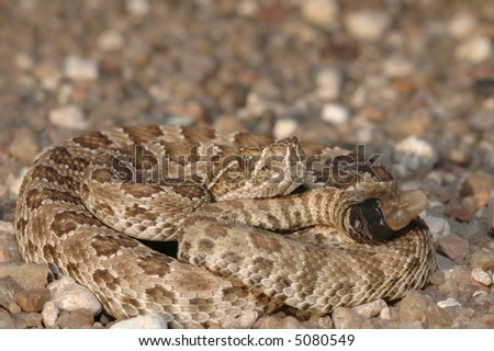 A baby prairie rattlesnake photographed in western Kansas on a gravel road. - stock photo