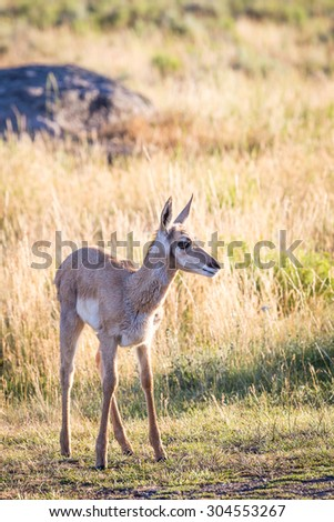 A baby pronghorn antelope on the Wyoming prairie. - stock photo