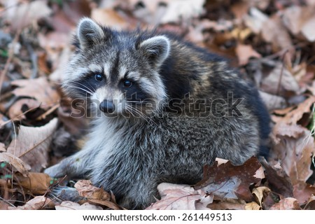 A baby raccoon was sleeping in a pile of leaves and woke up when hikers passed by. - stock photo