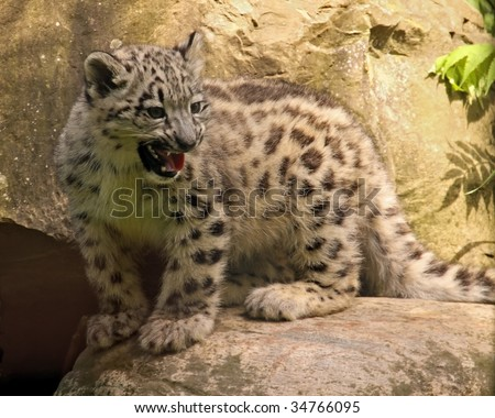 A baby snow leopard (uncia uncia) cries for its mother - stock photo