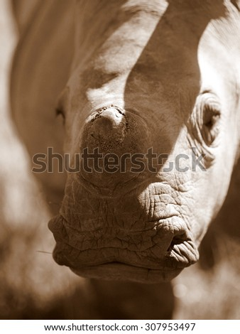 A baby white rhino / rhinoceros in this sepia tone image. South Africa - stock photo