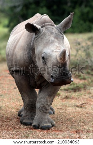 A baby white rhino / rhinoceros portrait. - stock photo