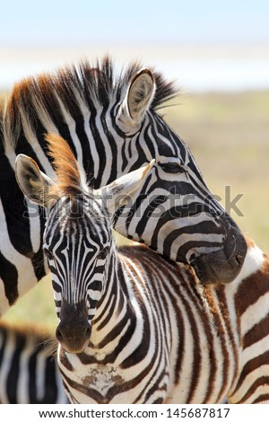 A baby zebra (Equus Quagga) and his mother in Ngorongoro Conservation Area, Tanzania - stock photo