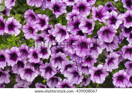 A background of pink petunia flowers - stock photo