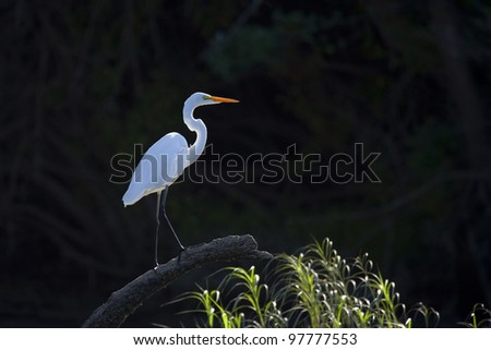A backlit great white heron, photographed from a kayak on the Cosumnes River in California. - stock photo