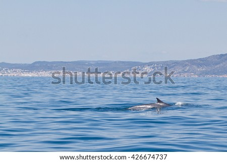 A Balaenoptera physalus, the common fin whale navigates in front of the coast of Barcelona in it's migration to Ligurian sea. - stock photo
