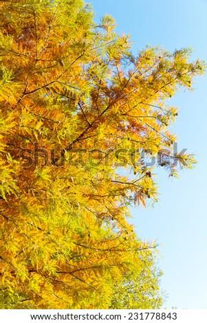 A bald cypress tree.  - stock photo