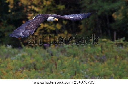 A Bald Eagle (haliaeetus leucocephalus) flying over a field in the rain.  - stock photo