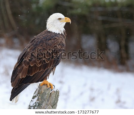A Bald Eagle (haliaeetus leucocephalus) perched on a post with snow falling.  - stock photo