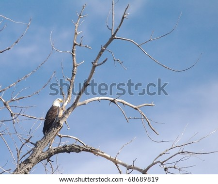 A Bald Eagle sitting in a tree in Colorado - stock photo