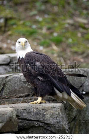 A bald eagle sitting on a rock - stock photo