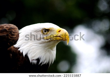 A bald eagle staring straight ahead at something. - stock photo
