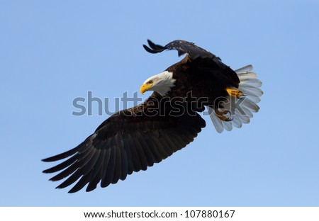 A Bald eagle with wings spread, about to land. Taken at the Klamath Basin Wildlife Refuges - stock photo