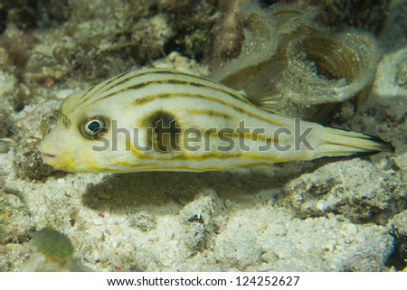 A balloon puffer fish looking at you in Cebu Philippines - stock photo