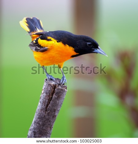 A Baltimore Oriole perched on a tree limb with a green background.. - stock photo