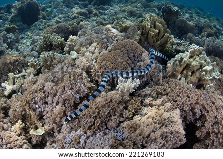 A Banded sea snake (Laticauda colubrina) slithers over a shallow reef in Indonesia, poking its head in and out of small holes while hunting for small reef fish. This species is highly venomous. - stock photo