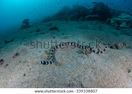 A Banded snake eel (Myrichthys colubrinus) swims over a sandy slope in Indonesia. This sinuous eel mimics Banded sea snakes which are highly venomous. - stock photo