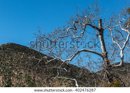 A bare tree in winter with a mountain peak in the background at Mission Trails Regional Park in San Diego, California.  - stock photo