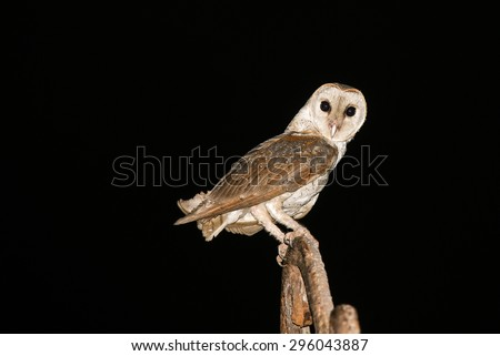 A barn owl isolated on black in the night background. Owl with sharp staring eyes perched on a light stand. Barn Owls are silent predators looking to catch a prey at night. Kozhikode Kerala India Asia - stock photo