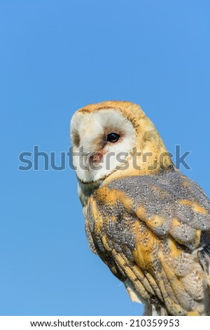 A barn owl perched against blue sky - stock photo