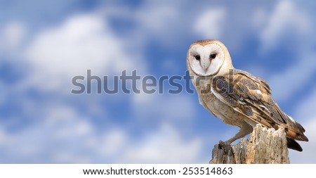 A barn owl perched on a dead tree stump with a beautiful cloudy blue sky background.  - stock photo