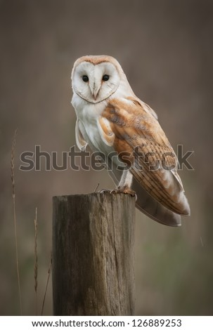 A Barn Owl perches on a fence post as it hunts in the fens. - stock photo