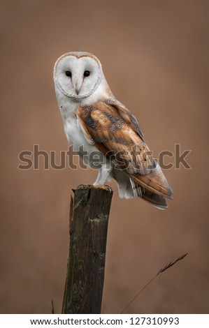 A Barn Owl rests on a fence post while hunting in the Fens - stock photo