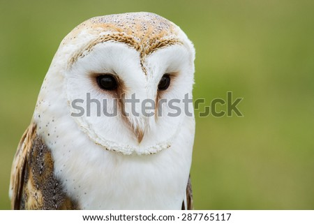 A barn owl staring at something - stock photo