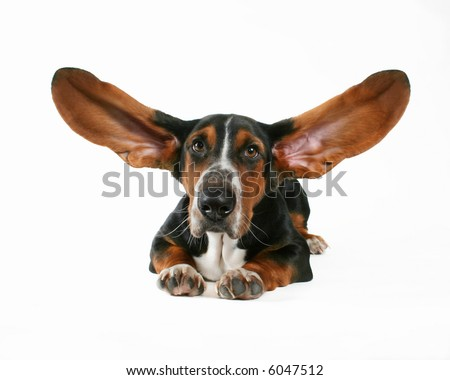 a basett hound with flapping ears - stock photo