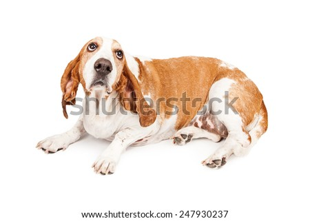 A Basset Hound dog laying and looking up with a sad expression as he is bing punished - stock photo