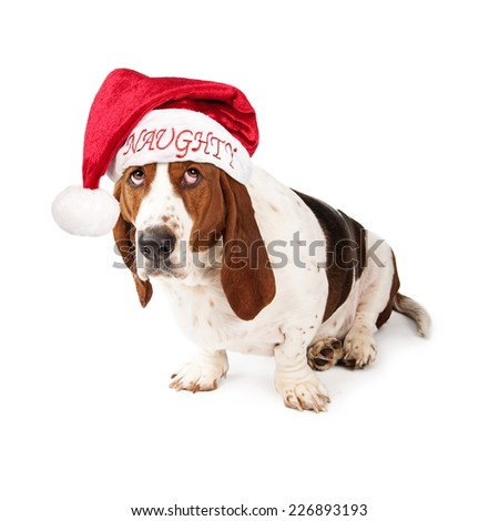 A Basset Hound dog looking wearing a Santa Claus hat with the word Naughty on it looking up with a guilty expression - stock photo