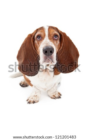 A Basset Hound dog sitting against a white backdrop and looking at the camera with a sad face - stock photo