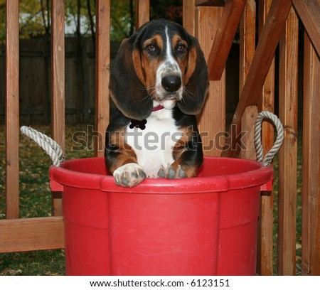 a basset hound in a red bucket - stock photo