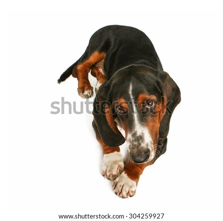 a basset hound sitting down on an isolated white background - stock photo