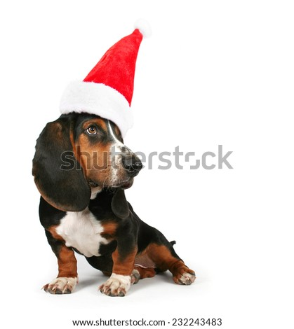 a basset hound sitting on a white background with a santa hat on for christmas - stock photo