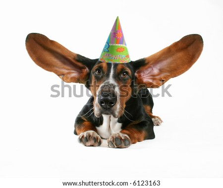 a basset hound with flapping ears - stock photo
