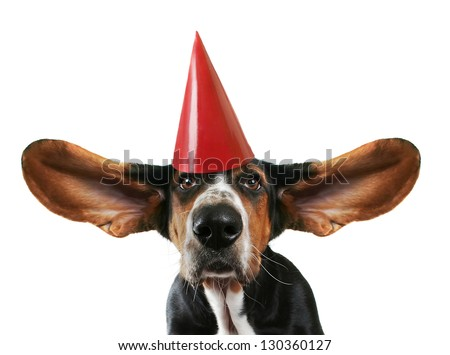 a basset hound with his ears flying away with a birthday hat on - stock photo